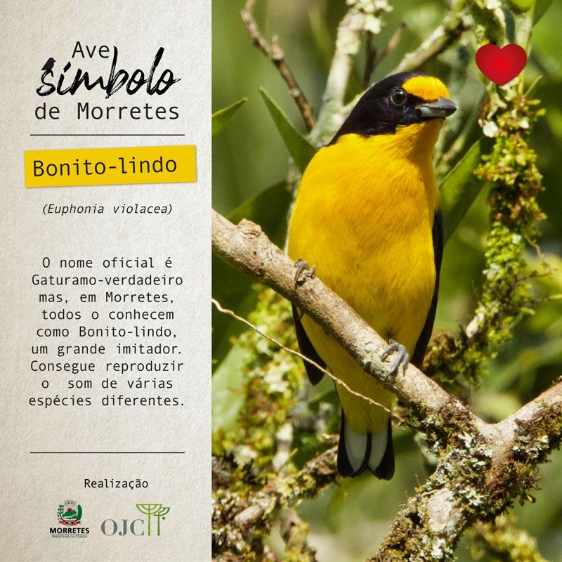 Bonito-lindo (Euphonia violacea)